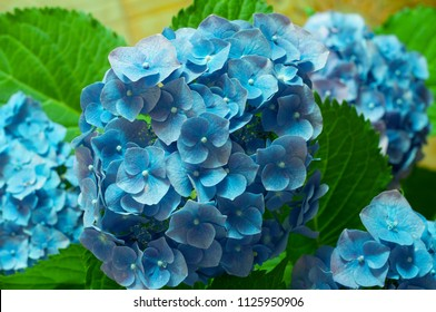 branches of hydrangeas with turquoise flowers
