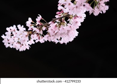Branches of Japan cherry blossom (Sakura)