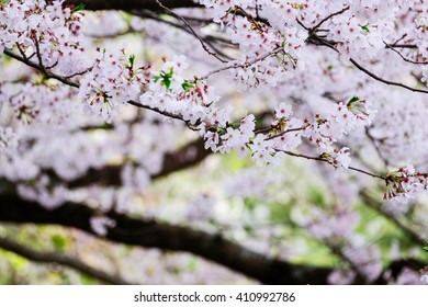 Branches of Japan's cherry blossom (Sakura) with petal falling