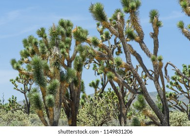 Branches Of Joshua Trees