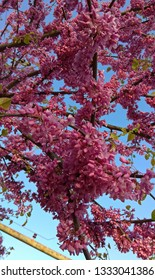 Branches of Judas tree, densely covered along with purple-pink flowers against the evening blue sky. Judas Tree (redbud or Cercis) blossom. Blooms resembling pea blossoms.