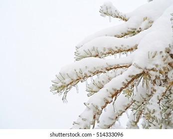 Branches of a larch tree covered with a thick layer of ice and snow on a white  background