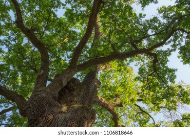 Branches of a large 500 year old oak tree spread side with the sky behind