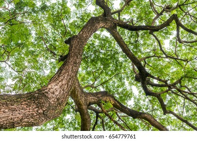 Branches of large trees in parks, green spaces in the city.