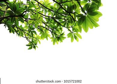 Branches with leaf of plumeria tree on a white background. [Frangipani, Plumeria, Temple Tree, Graveyard Tree]