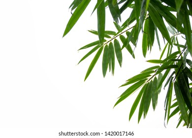 Branches and leaves of bamboo tree with water droplets in the rainy season isolated on white background and copy space.