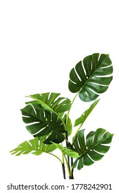 Branches and leaves of a green monstera on a white background. An isolated object. Copy space. Vertical