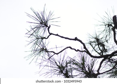 Branches and leaves of Japanese pine tree like ink paintings