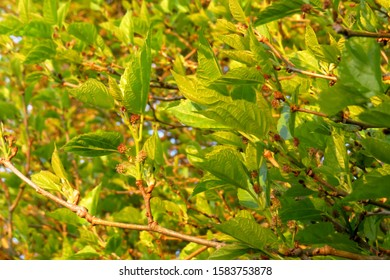 Branches with leaves and small fruits