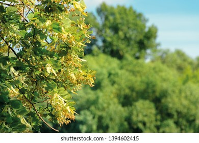 branches of the linden tree. nature scenery in summer. blue sky blurred on the background. green foliage in a sunny day