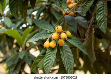 branches of loquat, Eriobotrya japonica, with ripening yellow fruit