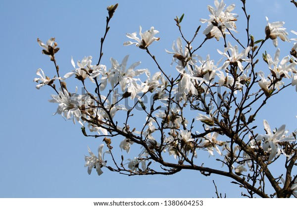 Branches Magnolia Loebneri Cultivar Donna White Stock Photo Edit