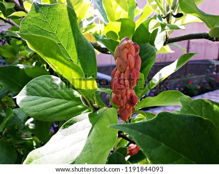 Branches Magnolia Tree Magnolia Grandiflora Commonly Stock Photo