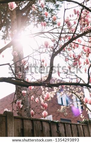 Branches Magnolia Tree Sun Shining Through Stock Photo Edit Now