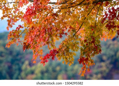 Branches of maple tree with bright red leaves during Fall season in Japan