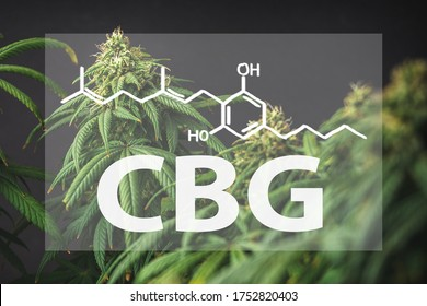 Branches of Medical Marijuana with flower bud sites isolated on black with the CBG Cannabigerol letters and chemical structure
