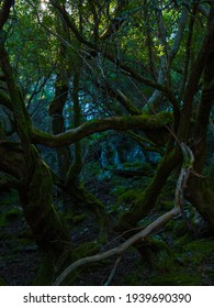 Branches of natural yew trees and moss in a forest north of Extremadura, Spain with little natural light
