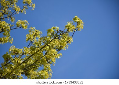 Branches with new maple leaves and flowers by a blue sky