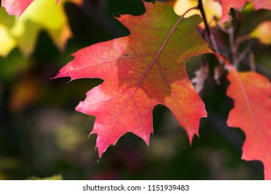 Branches of oak tree (Quercus rubra) with autumn red sunlight leaves in forest at sun day.
