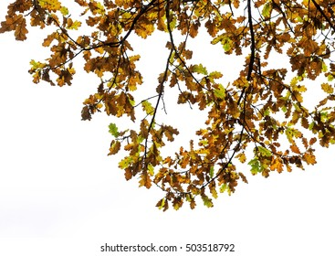 the branches of the oak with yellow and brown leaves in the autumn Park on an isolated white background