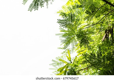 Branches on white background, green leaf isolate