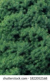 Branches of Picea Conica Glauca. Dwarf Alberta Spruce - Latin name - Picea glauca Conica
