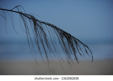 Branches of pine tree at the beach seaside.