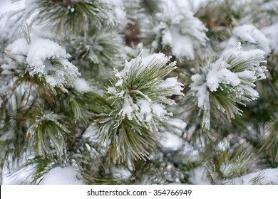 Branches of pine tree with snow