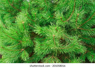 The branches of pine trees as a backdrop
