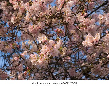 Branches of pink cherry blossoms against blue sky.  Spring, sunshine.  Lush bunches of pink blossoms bright petals
