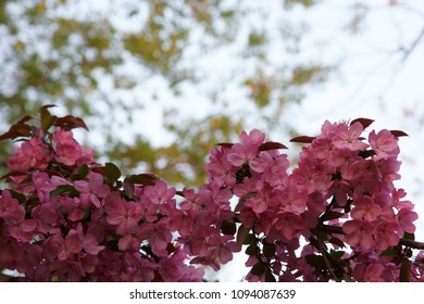 Branches of pink Crabapple flowers in spring season.