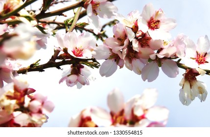 Branches of Pink Flowers Blooming Peach Tree