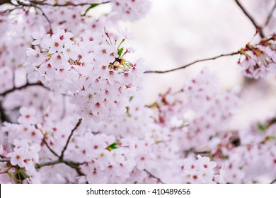 Branches of pink Japan's cherry blossom (Sakura)