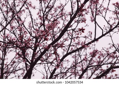 Branches of pink sakura. Cherry blossom in Europe, Portugal