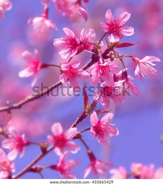 Branches of pink Wild Himalayan Cherry flowers at Chiang Mai, Thailand