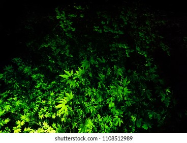 Branches of the plane tree in the light of the night lamps