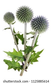 Branches of prickly burdock with round needle-like flowers. Isolated on white studio macro shot
