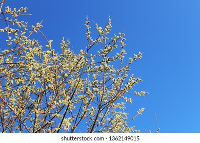 Branches with pussy willows, blue sky above, Allgäu, Bavaria