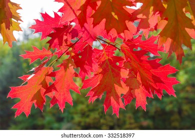 Branches of red oak with red leaves hanging from the top on blurred green background of the forest