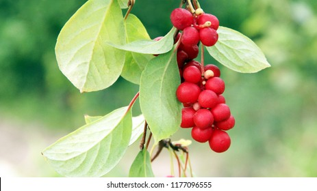 Branches of red schisandra. Clusters of ripe schizandra. Crop of useful plant. Red schizandra hanging on green branch. Schizandra chinensis plant with fruits on branch. Schizandra omija of Korea