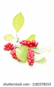 Branches of red schisandra. Clusters of ripe schizandra. Crop of useful plant. Fruits of schizandra chinensis plant on white background. Schizandra omija of Korea