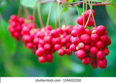 Branches of red schisandra. Clusters of ripe schizandra. Crop of useful plant. Red schizandra hang in row on green branch. Schizandra chinensis plant with fruits on branch. Schizandra omija of Korea