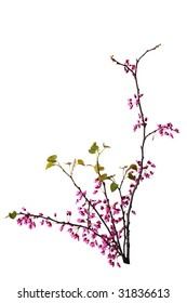 Branches of redbud flowers isolated on white