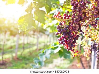 Grape Tree Images, Stock Photos & Vectors | Shutterstock