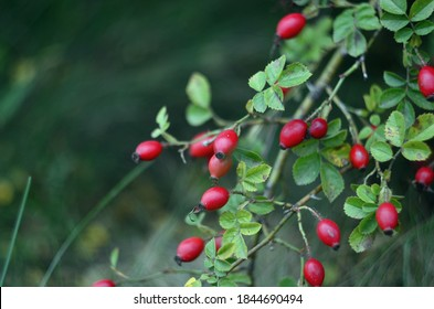 Branches of ripe rose hips in October