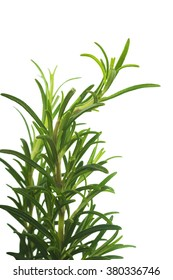 Branches of rosemary isolated on a white background
