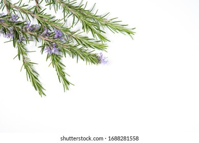 Branches of rosemary on white background