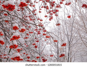 Branches of rowan tree with ashberries under snow at winter day
