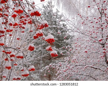Branches of rowan tree with ashberry under snow at winter day