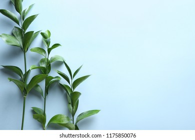 Branches of Ruscus on color background